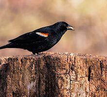 Red-Winged Blackbird With Snack by KatMagic Photography