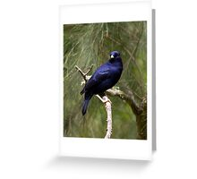 Male Bower Bird Greeting Card