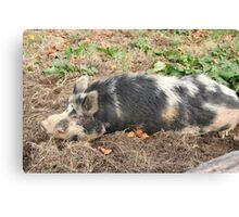 Happy as a pig.... Canvas Print