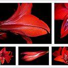 Hippaestrum or Amaryllis by Magee