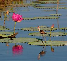 Comb-Crested Jacana on the South Alligator River, Kakadu National Park by Erik Schlogl