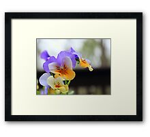 Purple Pansies. Framed Print