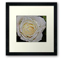 A white Rose. Framed Print