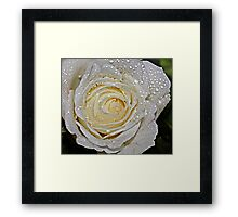A white Rose. Framed Print