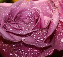 A pink Rose by Dipali S