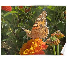 "Vanessa  Cardui (or Cynthia Cardui or ""Belle-Dame"" or ""bella-Dama"" or Painted Lady) Butterfly Poster"