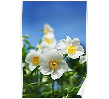 White peonies and blue sky Poster