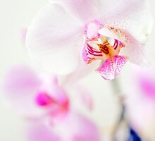 White and pink orchids by Pål Espen Olsen