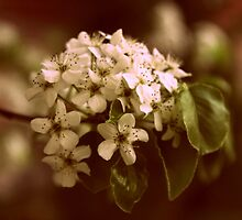 Callery Pear Blossom by Jessica Jenney