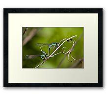 Mating Damselflies Framed Print