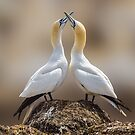 Dance of the Gannets by Rustyoldtown