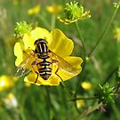 Hover on a Buttercup by Bob Sagar