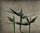 Bamboo by Nathalie Chaput