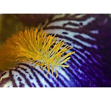 Iris close up Photographic Print