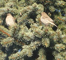 Pine House Finches III by LadyAvalon