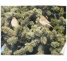 Pine House Finches III Poster