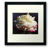 White Ranunculus Framed Print