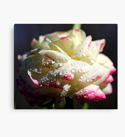 White Ranunculus Canvas Print