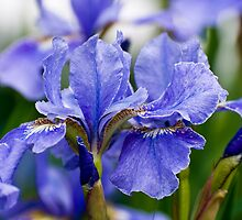 Iris Beauty by Monica M. Scanlan