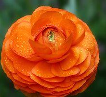 Orange Ranunculus by Dipali S