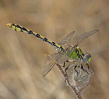 Ophiogomphus occidentis (Sinuous Snaketail) by Jim Johnson
