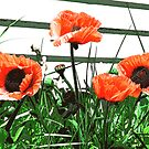 Poppies by Zolton