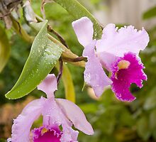 Cattleya Orchid by Nigel Donald