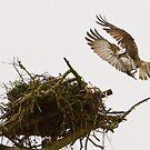 Osprey Returning by dsargent