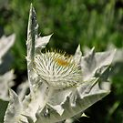 Flower of Scotland by Finbarr Reilly