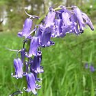 Bluebells by catherine bracegirdle