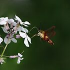 Amazing HummingBird Moth by Lynda   McDonald