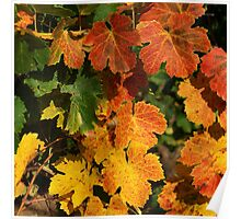 Autumn colors in the vineyard Poster