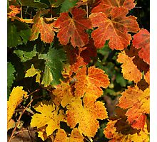 Autumn colors in the vineyard Photographic Print