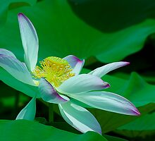 Lotus- Symbol of Spirituality by Mukesh Srivastava