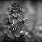 Lavanda desaturated by Ghelly