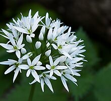 Wild Garlic by Mark Denham
