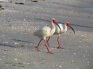 White Ibis by Irina777