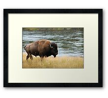Bison of Yellowstone Framed Print