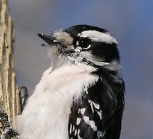 Female Downie Woodpecker by Larry Trupp