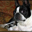 Boston Terrier Bailey by Jenni Atkins-Stair