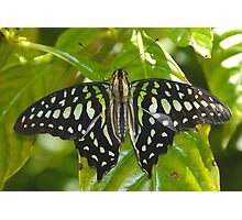Green Leaf Butterfly Photographic Print