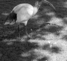 Ibis on the move by Brandie1