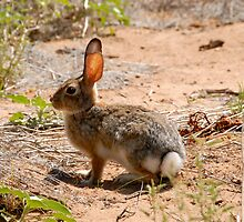 Desert Cottontail by David Lee Thompson