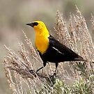 Yellow Headed Blackbird by Gina Ruttle  (Whalegeek)