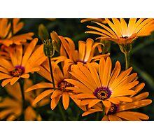 Daisy Lucis effect Photographic Print