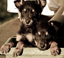 Kelpie pups by Kat36