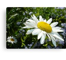 Close Up Common White Daisy With Garden  Canvas Print