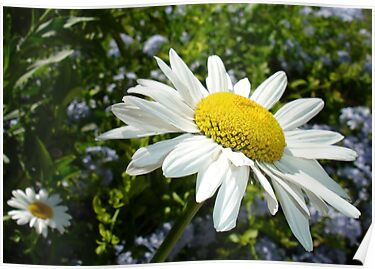 Close Up Common White Daisy With Garden  by taiche