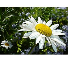 Close Up Common White Daisy With Garden  Photographic Print