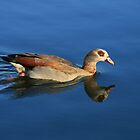 Egyptian goose  by ngnine